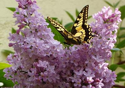 La-farfalla-Vio